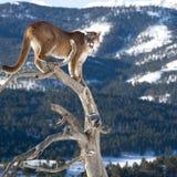 León de montaña en árbol muerto Imagen de archivo