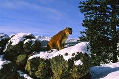 León de montaña en invierno Fotografía de archivo
