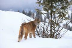 León de montaña en la montaña Imágenes de archivo libres de regalías