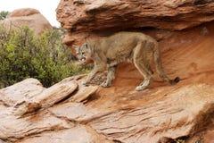 León de montaña en lluvia Imágenes de archivo libres de regalías