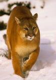 León de montaña en nieve Fotografía de archivo