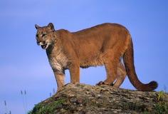 León de montaña en roca Imágenes de archivo libres de regalías