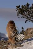 León de montaña en sagebrush fotografía de archivo libre de regalías