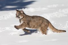León de montaña joven en nieve Imagenes de archivo