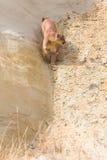 León de montaña que camina abajo del barranco Foto de archivo libre de regalías