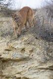 León de montaña que camina hacia presa Foto de archivo