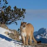León de montaña que mira en el valle Imagenes de archivo