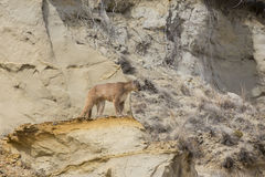 León de montaña que mira sobre el barranco Imagen de archivo libre de regalías