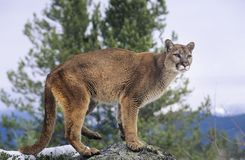 León de montaña que se coloca en roca Imagen de archivo libre de regalías