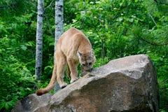 León de montaña que se coloca en una roca grande Foto de archivo