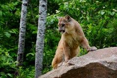 León de montaña que se coloca en una roca grande Foto de archivo libre de regalías