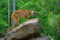 León de montaña que se coloca en una roca grande Fotos de archivo libres de regalías