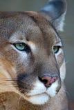 León de montaña - retrato del puma Imágenes de archivo libres de regalías