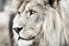 León León de Portait en las luces blancas Fotografía de archivo