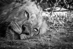 León de reclinación en el parque nacional de Kruger, Suráfrica Imagen de archivo