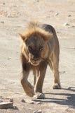 León de Sandy Fotografía de archivo