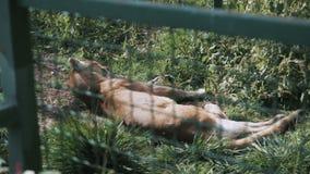 León debajo de la jaula almacen de video