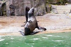 León del ‹del †del ‹del †del mar, animales amistosos en el parque zoológico de Praga Imagen de archivo