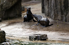 León del ‹del †del ‹del †del mar, animales amistosos en el parque zoológico de Praga Foto de archivo