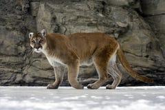 León del puma o de montaña, concolor del puma Fotos de archivo libres de regalías