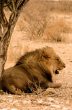 León del retrato imagen de archivo