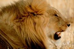 León del retrato Fotos de archivo