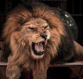 León del rugido Fotografía de archivo