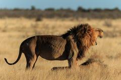 León del rugido Imagenes de archivo