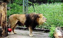 León del rugido en el parque zoológico Foto de archivo libre de regalías