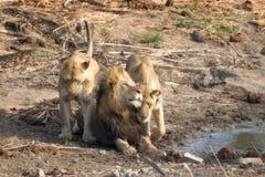 León del varón adulto con dos leonas en Kruger Imágenes de archivo libres de regalías