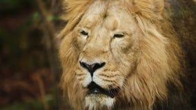 León del varón adulto, retrato en el cautiverio en parque zoológico, cámara lenta metrajes