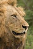 León del varón del orgullo Foto de archivo libre de regalías