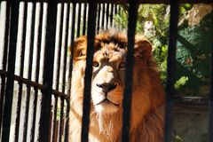 León detrás de barras en el parque zoológico imagen de archivo
