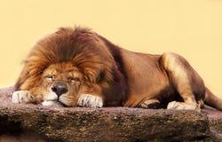 León el dormir Fotografía de archivo