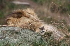 León el dormir Imágenes de archivo libres de regalías