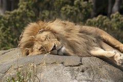 León el dormir Imagen de archivo libre de regalías
