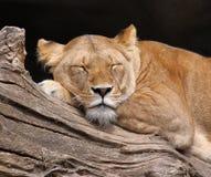 León el dormir - retrato Foto de archivo libre de regalías
