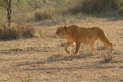 León el rey de África Imágenes de archivo libres de regalías