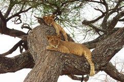 León en África Fotografía de archivo