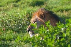 León en arbusto Fotografía de archivo libre de regalías