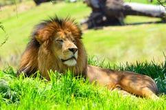 León en descanso Foto de archivo libre de regalías