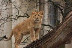 León en el árbol Fotografía de archivo