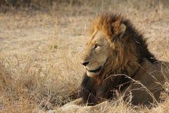 León en el arbusto africano Foto de archivo