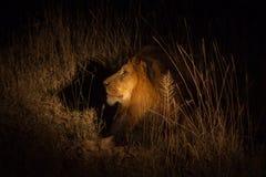 León en el arbusto en la noche Foto de archivo libre de regalías