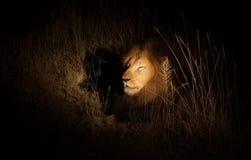 León en el arbusto en la noche Fotos de archivo libres de regalías