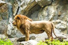 León en el chiangmai Tailandia del parque zoológico del chiangmai Fotos de archivo