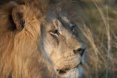León en el desierto Imágenes de archivo libres de regalías
