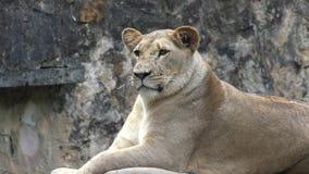 León en el objeto expuesto del parque zoológico metrajes