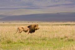 León en el paisaje amplio de Serengetti Fotografía de archivo libre de regalías