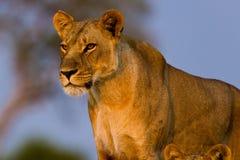 León en el parque Foto de archivo libre de regalías